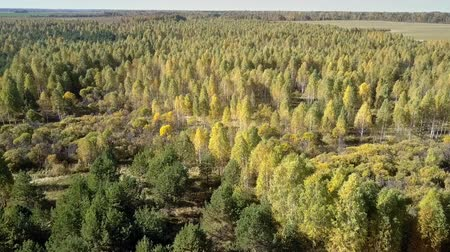 bétula : wonderful aerial panorama yellow birch grove among green pine wood under boundless blue sky on sunny autumn day
