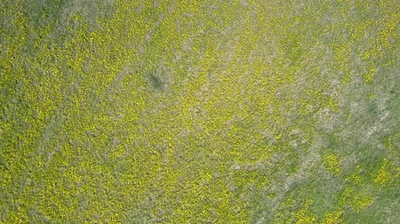 厄介な : fantastic upper vertical view beautiful yellow blowballs in blossom among dry grey grass on nasty day