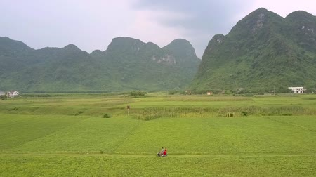fıstık : beautiful high green mountains rise above boundless peanut field and couple rides scooter along narrow road aerial view