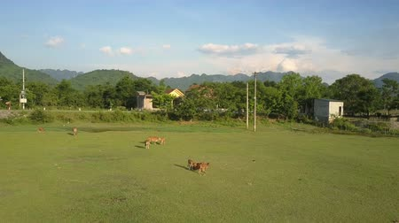 vitela : calm buffaloes with calves graze on green sunny meadow by asphalt road and small village surrounded by trees and hills