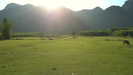búfalo : flycam films nice buffaloes lying amidst beautiful boundless green valley surrounded by high mountain range
