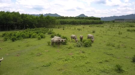 bika : large water buffaloes eat fresh grass and leaves on wide pasture at tropical forest under cloudy sky aerial view
