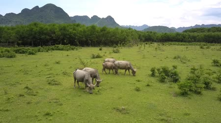 buvol : Asian water buffaloes graze on lush pastureland at tropical wood against old mountain upper view