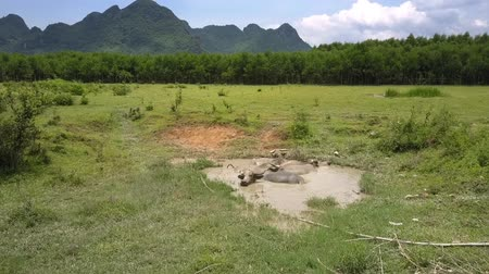 tampa : large lazy water buffaloes rest in small puddle among field covered with grass against sky and mountains aerial view Stock Footage
