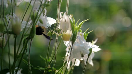 endemic : black endemic bumblebee lands inside white flower with green stem extreme slow motion. Concept endangered species