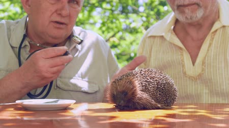 erizos : senior citizen tries to examine hedgehog with blue silver stethoscope on brown wooden table in garden. Concept mental disability Archivo de Video