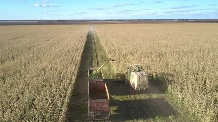 reszelt : flycam follows silage corn harvesting by agricultural machinery driving along boundless filed in countryside