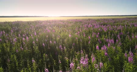 motyl : different butterflies and bees fly over purple lavender flowers meadow against ripe wheat field lit by sun upper view. Concept environment agriculture Wideo