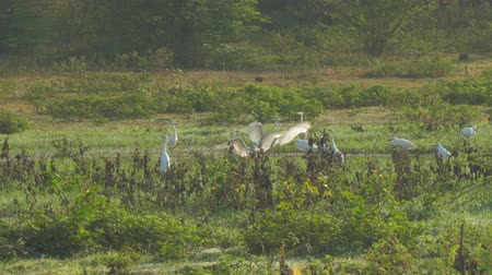 páření : great egrets females gather on green and brown meadow at forest during mating season slow motion. Concept wild nature