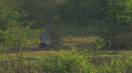 vagabundo : large peacock flaunts feathers and performs ritual dance for female on meadow slow motion backside view. Concept national park