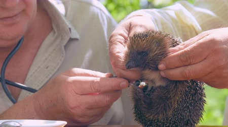 еж : aged people hold and examine hedgehog with blue and silver stethoscope in green garden close view. Concept animal clinic