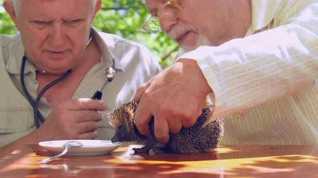 erizos : aged people communicate and show hedgehog plate with milk and silver spoon on brown wooden table. Concept natural environment Archivo de Video