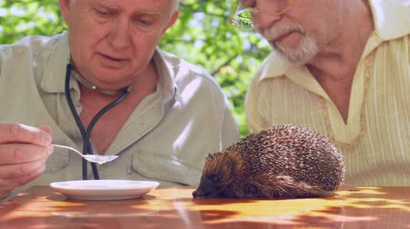 ježek : professional aged doctor feeds ill hedgehog with silver spoon taking milk from white plate in garden. Concept endangered species examination Dostupné videozáznamy