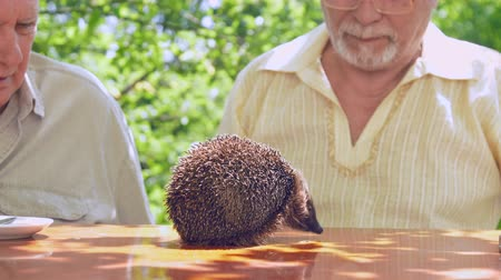 еж : hedgehog smells brown wooden table against senior citizens looking at animal. Concept freetime activity in nursing home Стоковые видеозаписи