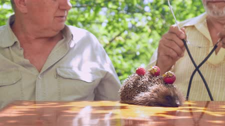 еж : senior citizen takes stethoscope from friend and examines hedgehog with strawberries on needles. Concept wrong diagnostic