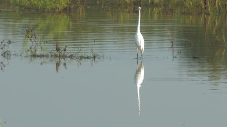 small heron : white great egret stands in shallow lake at green trees silhouettes reflected in water slow motion. Concept national park