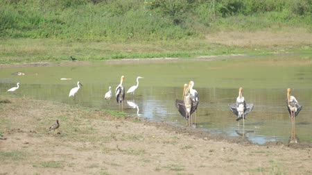 cegonha : immobile marabou storks stand in lake water at sandy bank against green trees in summer slow motion. Concept nature conservation