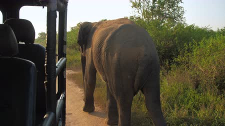 elephants : huge elephant walks in car shadow at green trees and shakes large ears slow motion. Concept nature conservation travel