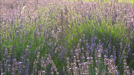 fragrances : Lavender swinging in the wind Stock Footage