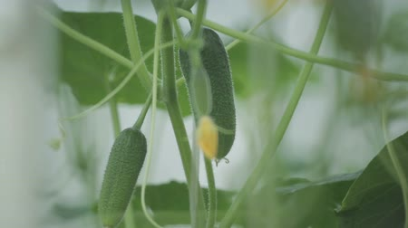 blooms : Cucumber growing in the garden. Stock Footage