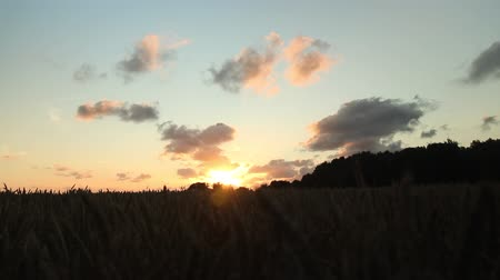 slider shot : Dolly shot in a wheat field with a golden sunset in East Frisia