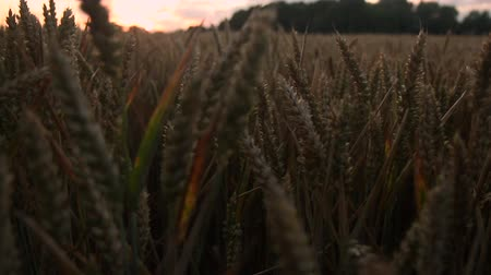 Dolly Shot lungo Wheat Heads at Sunset (Ora magica)