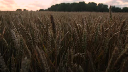 Dolly shot in wheat field with sunset sky in East Frisia (Ostfriesland)