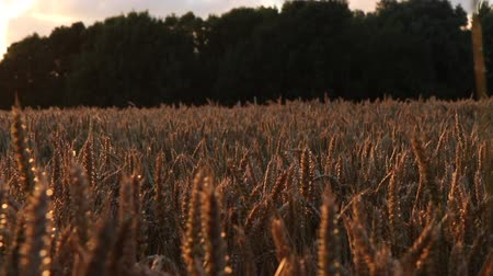 Dolly Shot along Wheat Field at Sunset and dramatic sky in East Frisia (Ostfriesland), Magic hour - long lens