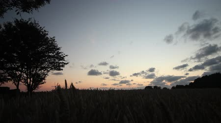 owies : Wide angle Dolly Shot at Wheat Field at Sunset (Magic Hour) Wideo