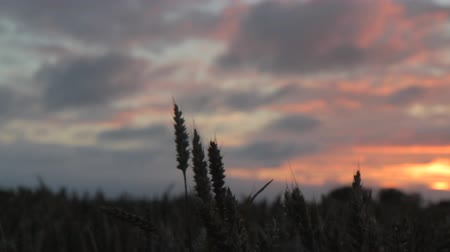 Dolly Close up Wheat Head at Sunset (Magic hour)  Field in East Frisia (East Frisia)