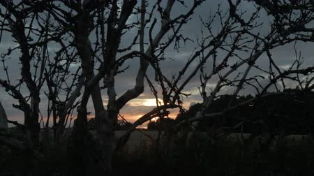 Old gnarled tree silhouetted against a field at East Frisia (Ostfriesland), Germany. Dolly Shot  Tracking Shot