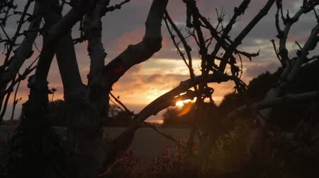 Old Gnarled Tree with Spiders Web silhouetted against Sunset at a Wheat Field in East Frisia, Germany. Dolly Shot  Tracking Shot Silhou