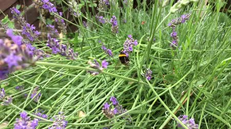 worker bees : Bumblebee collecting pollen and nectar from a lavender flower, then flying and landing onto the next one in Slow-Motion Stock Footage