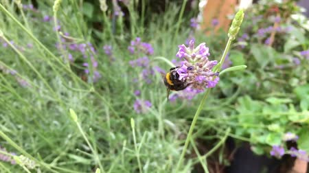 Bumblebee crawling on a lavender flower to harvest pollen and nectar, then flying out of frame in Slow Motion