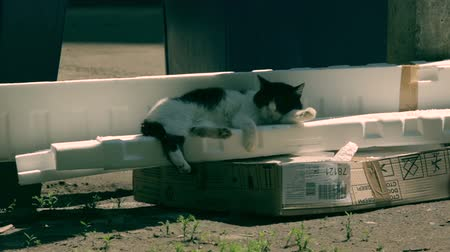 gato selvagem : Wild black and white cat sleeping on the styrofoam pack. Pan.