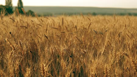 centeio : The rye field pan. Golden heavy ears of rye. The many  beatles are flying around