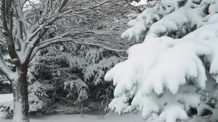 kayran : Winter season. Snowy fir trees are in snowstorm.