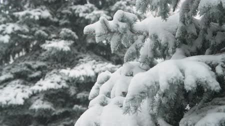 ág : Winter season. Snowy fir trees are in snowstorm.