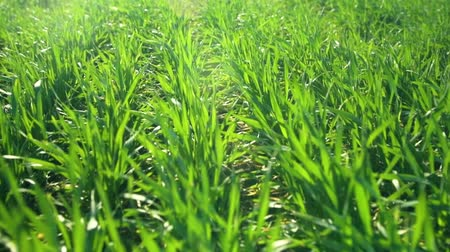 саженцы : Young sprouts are on the field. Green grass closeup. Стоковые видеозаписи