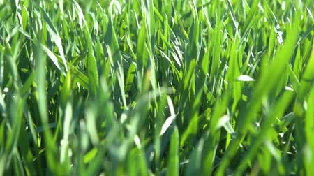 mahsul : Young sprouts are on the field. Green grass closeup. Stok Video