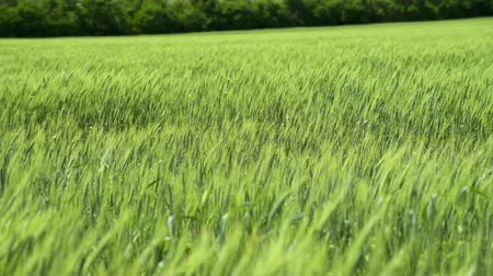 oats : Green wheaten sprouts are in the field and beautiful cloudy. Spring landscape.