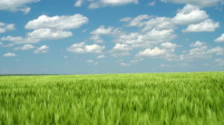 саженцы : Green wheaten sprouts are in the field and beautiful cloudy. Spring landscape.