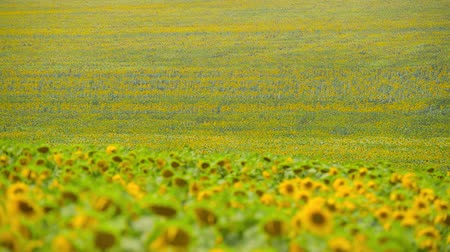 подсолнухи : Sunflower field - bright yellow flowers, beautiful summer landscape Стоковые видеозаписи