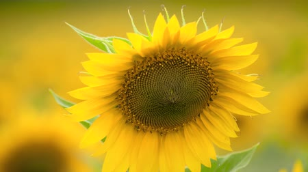 sunflower seed : Sunflower field - bright yellow flowers, beautiful summer landscape Stock Footage
