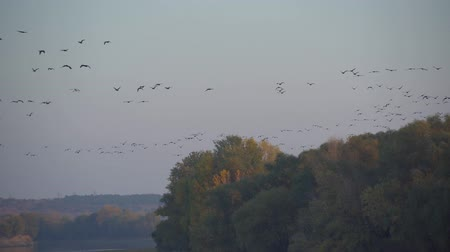 миграционный : flock of geese fly in evening sky, many birds flying on the river, wild nature, autumn forest at sunset