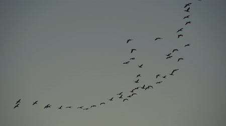 stěhovavý : flock of geese fly in evening sky, many birds silhouette flying, wild nature
