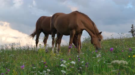 A horse on a green hill pasture, carpathian mountains, wild flowers against a blue sky with clouds at sunset.