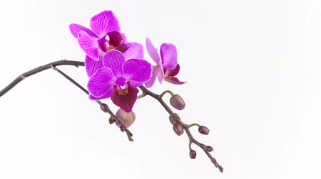 orchid essence : Beautiful rare orchid in pot on white background Stock Footage