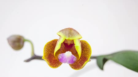 orchid infusion : Beautiful rare orchid in pot on white background Stock Footage