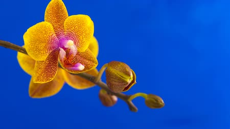 появление : Beautiful rare orchid in pot on blue background Стоковые видеозаписи